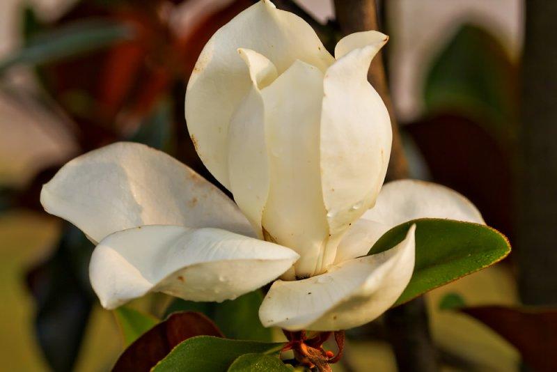 Early Summer Magnolia