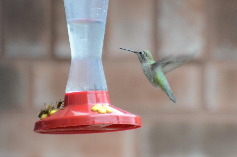 Annas Hummingbird, Female