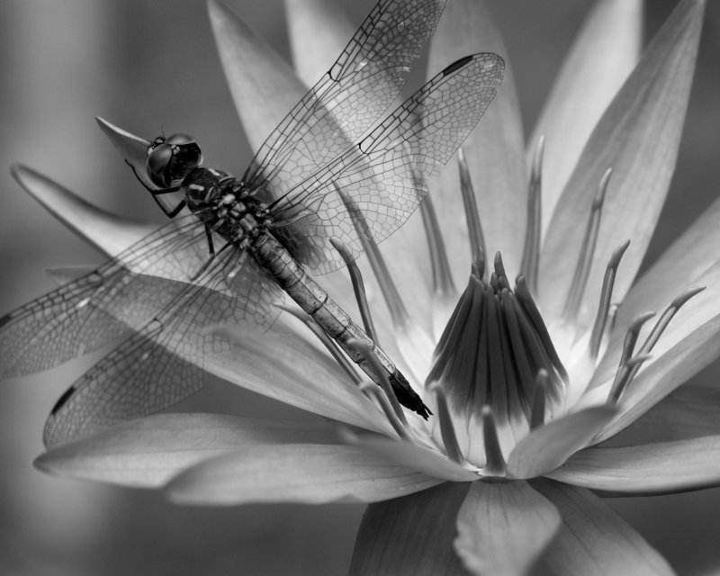 Dragon Lily BW.jpg