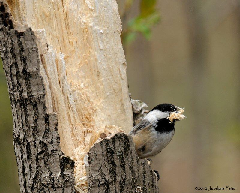 Mésange à tête noire creusant son nid / Black-capped Chickadee digging its nest