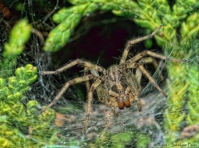 Araignée sp / Unidentified Spider