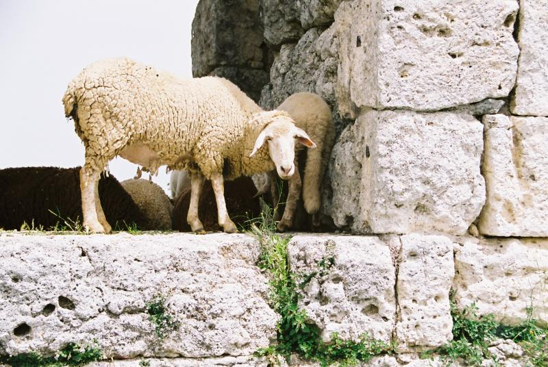 Roman sheep