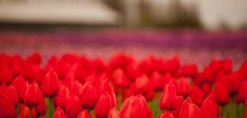 Tulips_041712_075-1.jpg