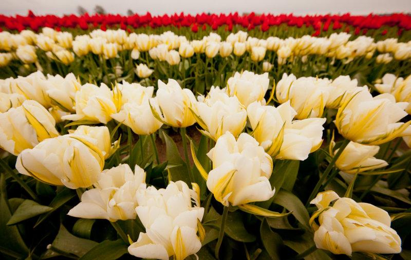 Tulips_041712_119-3.jpg