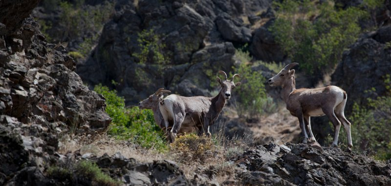 California Mountain Sheep <br> (BTcd2_071812-44-6.jpg)