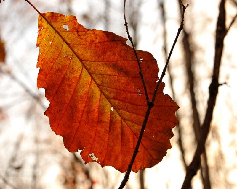 Backlit Chestnut Oak leaf