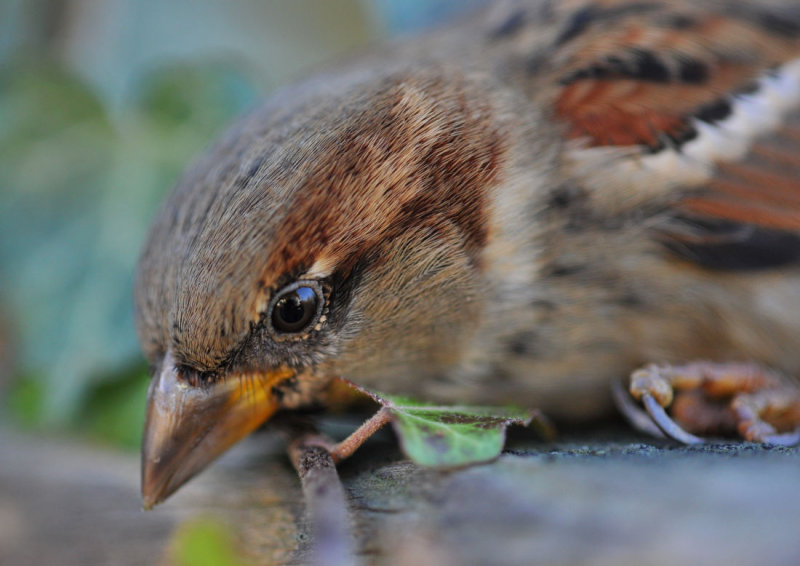 Dazed Sparrow (after contact with a patio window)