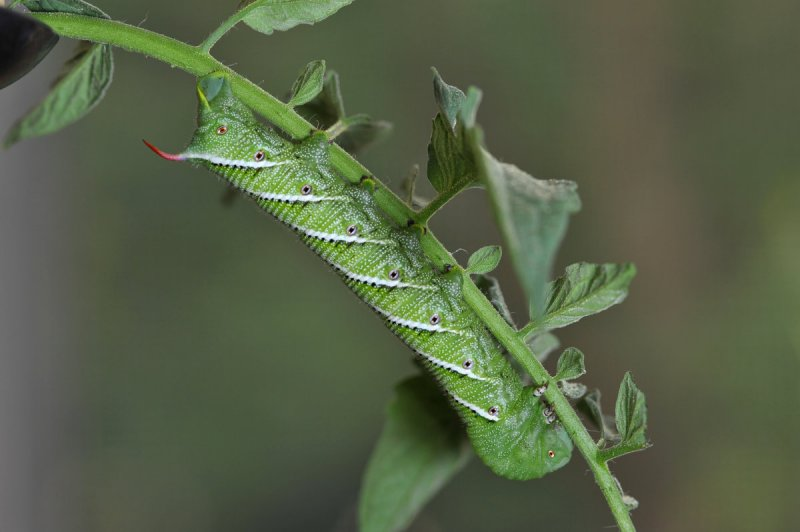 A Tomato Growers most hated sight!  Tomato Hornworm - Manduca Quinquemaculata