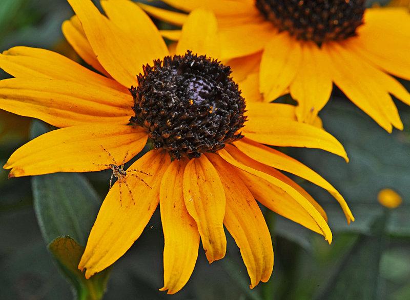 Spider on Black-eye Susan