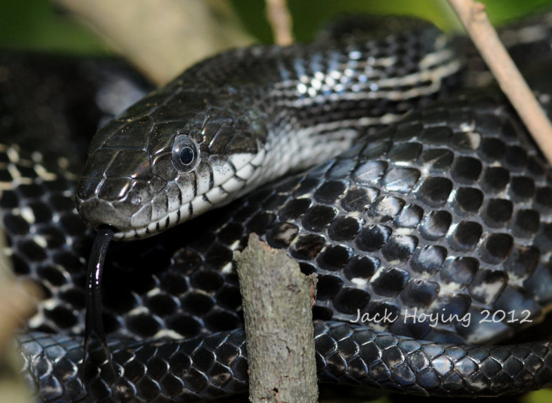 Black Rat Snake in a tree