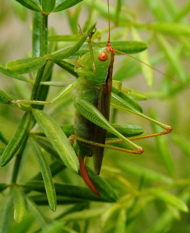 Orchelimum - Female Greater Meadow Katydid