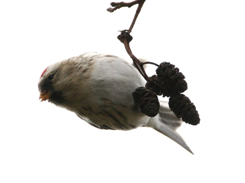 Coues-Artic-Redpoll