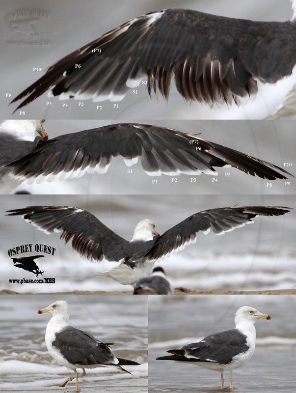 Lesser Black-backed Gull comp 1000.jpg