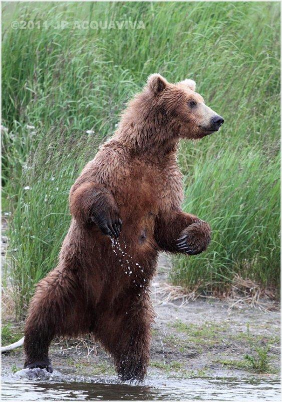 standing bear 4330.jpg