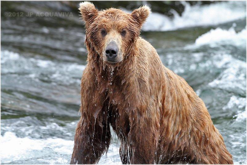 wet brown bear 4120.jpg