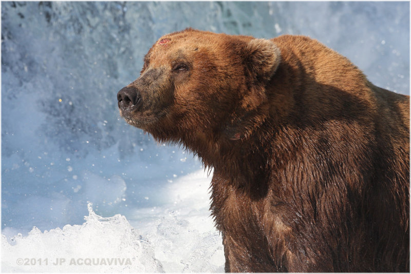 brown bear 5317.jpg