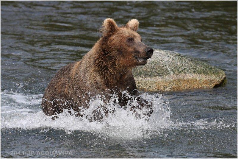fishing bear 5522.jpg