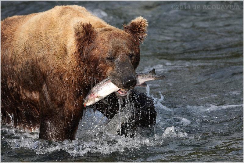 fishing bear 5797.jpg