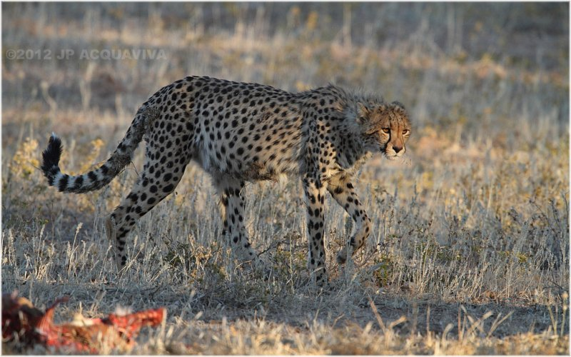 Guepard - Cheetah 7555