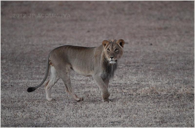Lion at Urikaruus waterhole 7595
