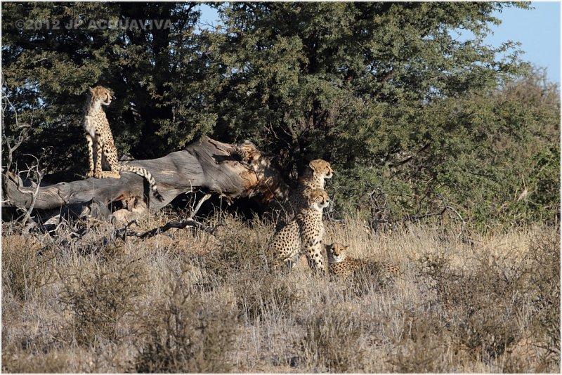 Guepard - Cheetah 7846
