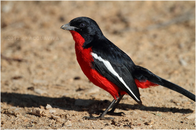 Gonolek - Crimson-breasted shrike