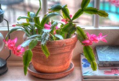 My Christmas Cactus in March