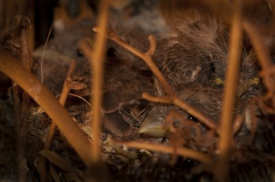 Five Little Finches