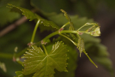 Grape Leaves in the Evening