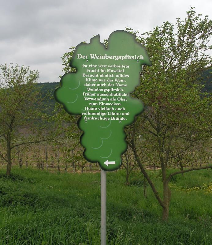 Der Weinbergspfirsisch.jpg