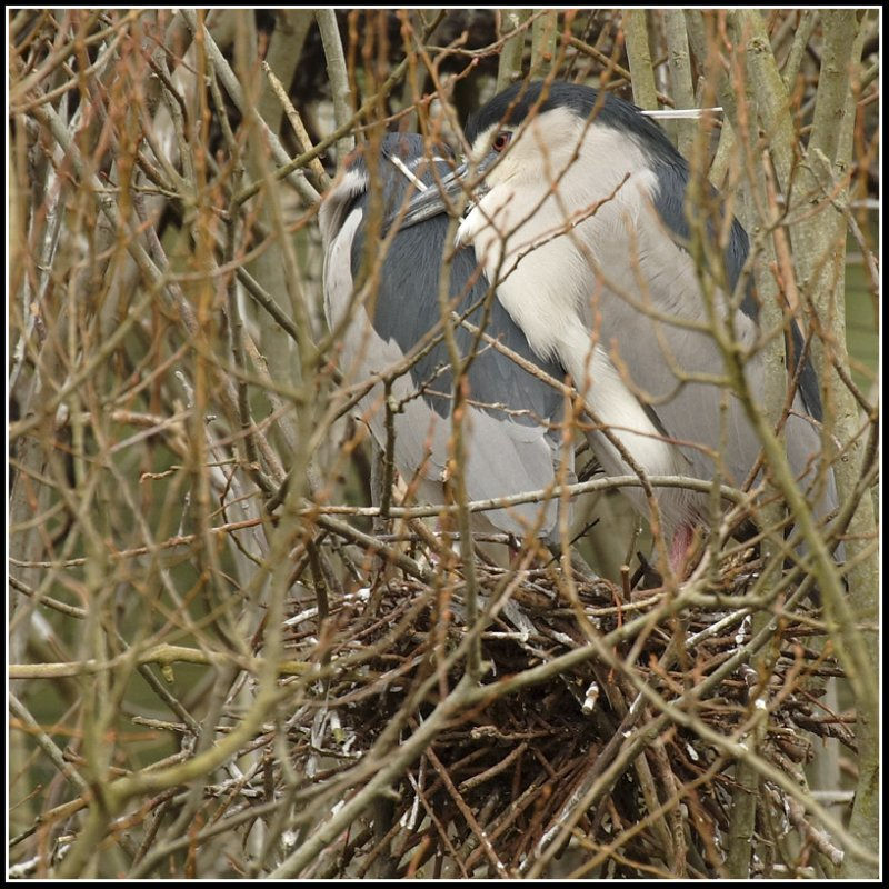 Nycticorax nycticorax - Bihoreau gris - Black-crowned Night Heron