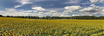 Sunflower_pan_2012_joecascio.jpg