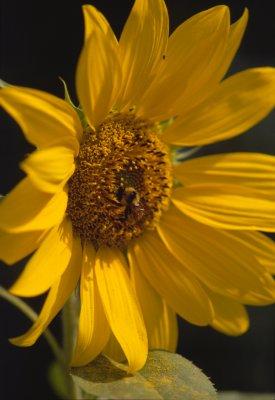 sunflower_02.jpg