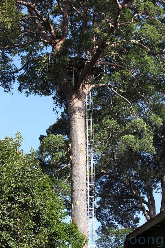 Agathis tree 32meter high observation platform