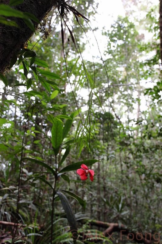 Dendrobium cinnabarinum