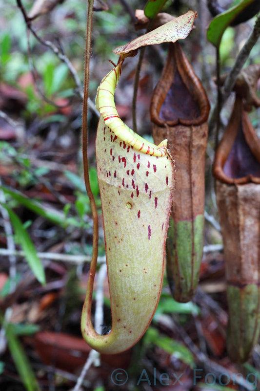 Nephentes stenophylla