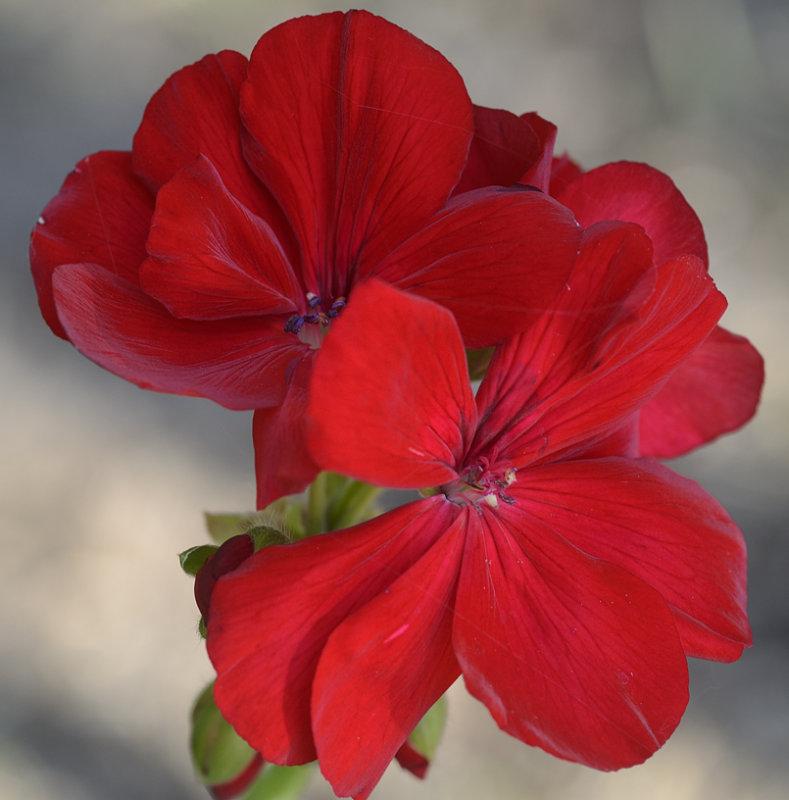 geranium day 4