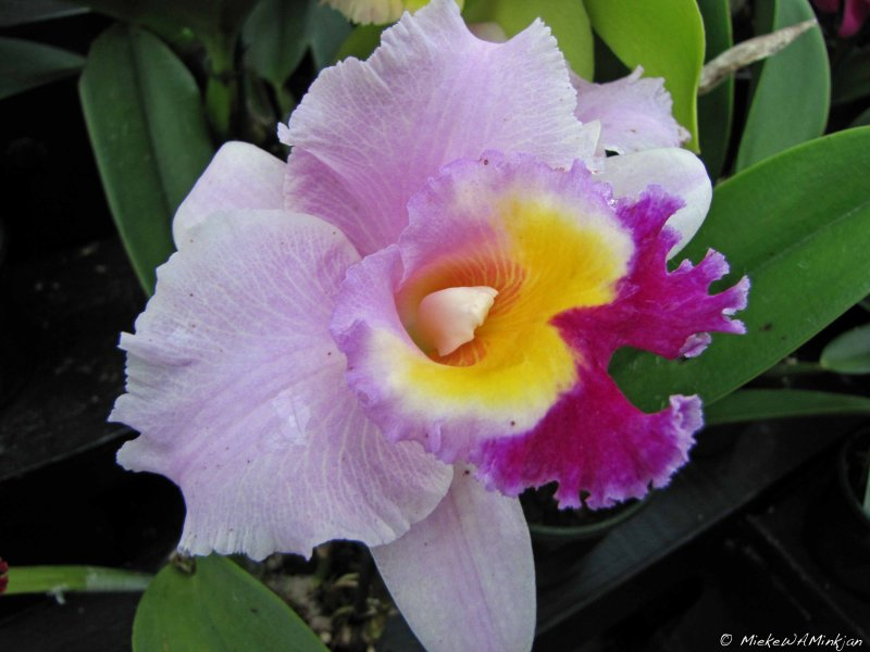 An Orchid for My Withering Garden