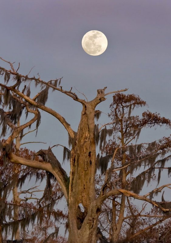 Moonrise over old cypress tree