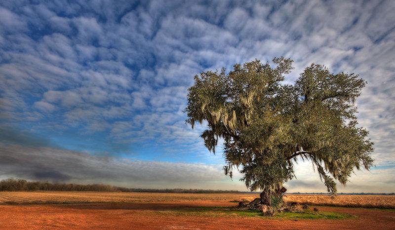 Vacherie Oak