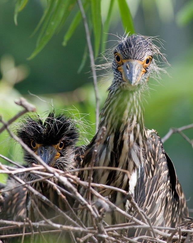 Baby Yellow-Crowned Night Herons
