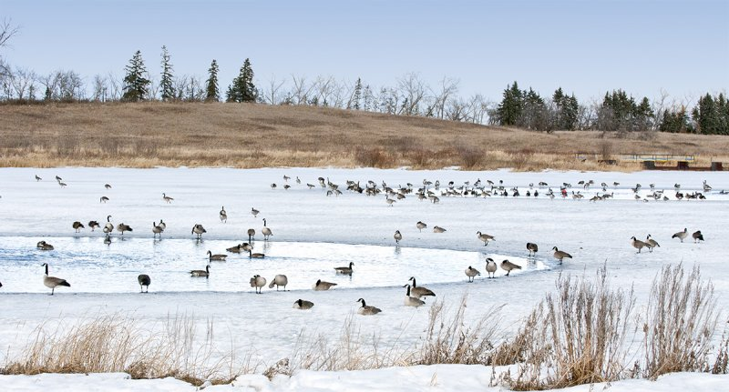 Geese at By the Lake Park in Wetaskiwin
