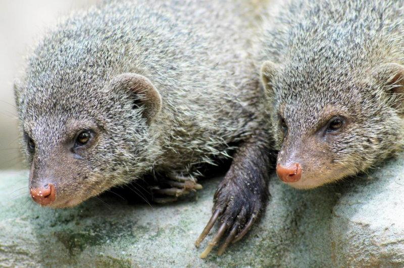 One mongoose, two mongeese?
