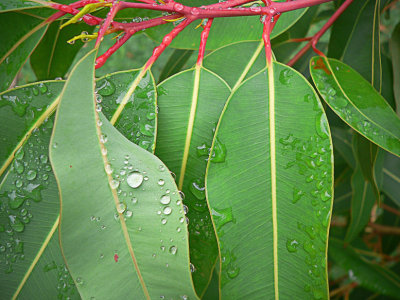 Gum Leaves 1