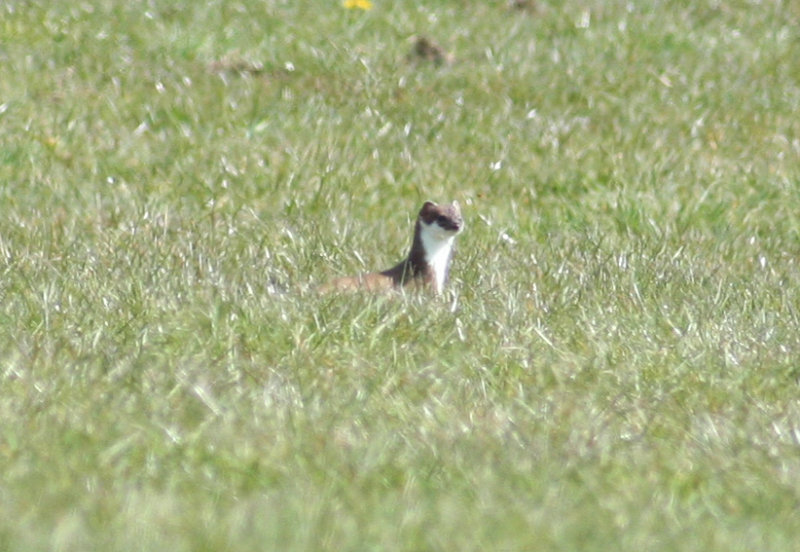 Stoat (Mustela erminea) Camperduin