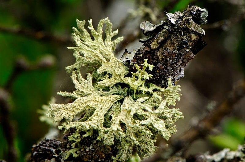 Oak Tree Lichen