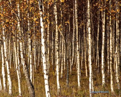 Young birches in autumn sun
