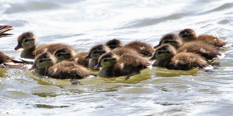 ducklings-wood9124-1024.jpg