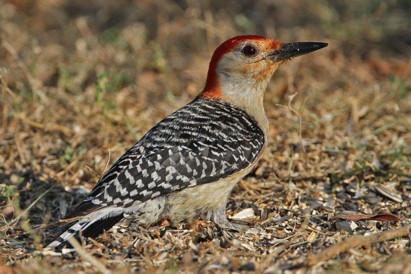 woodpecker-redbellied6322-1024.jpg