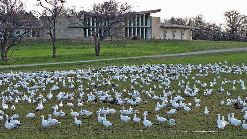 geese-snow2793-1024.jpg